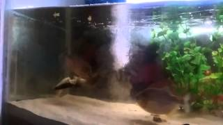Video Piranha vs lele download MP3, 3GP, MP4, WEBM, AVI, FLV Januari 2018