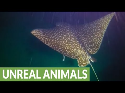 Deadly stingray circles back and touches diver