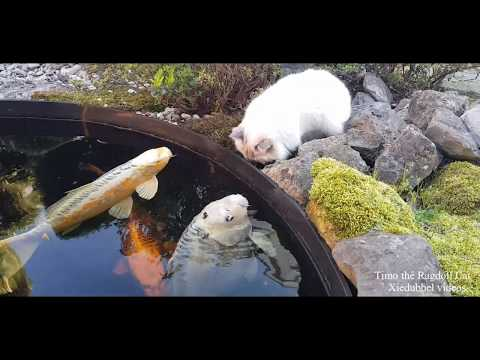 Jumbo Koi are greeting Toby the Ragdoll Cat