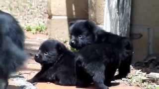 Schipperke Puppies,  San Diego CA