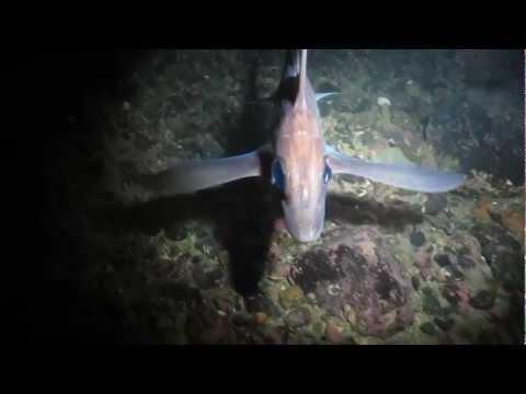 GHOST SHARK  HD 1080p / Chimaera Monstrosa / Rat Fish / Havmus ( Poison )