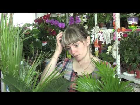 Комнатные пальмы -- джунгли в Сибири