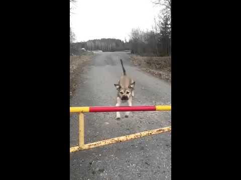 Dog Gate Jump Fail