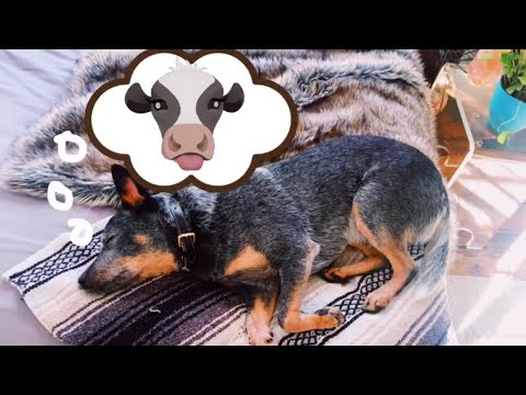 Is my Dog Asleep or DEAD?! 😭 | Blue Heeler