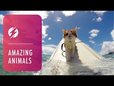 One-Eyed Cat Loves To Surf