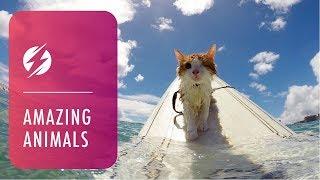 片目サーファーキャットのクリさん、今日もホノルルの海でビッグウェーブに乗る