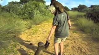 Working with lions in Africa