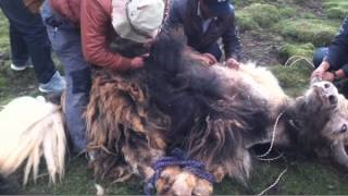 Yaks shed their wool on the Himalayan plateau in the spring, the he...
