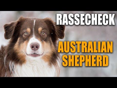 Rassecheck  - Australian Shepherd - Red Merle, Blue Merle - Hundeschule Stadtfelle