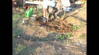 Ağaç fidanı toprağa nasıl dikilir ?