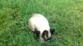 Маленькая сиамская кошка - настоящий хищник