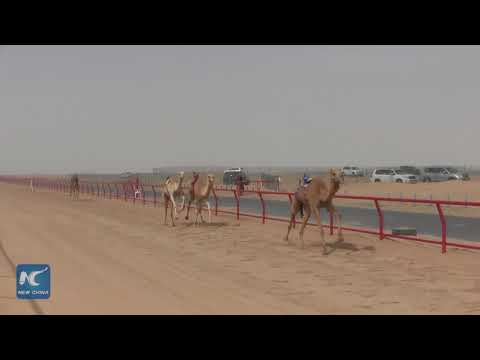 The amazing Camel Race in Kuwait !