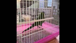 Bird dancing to music