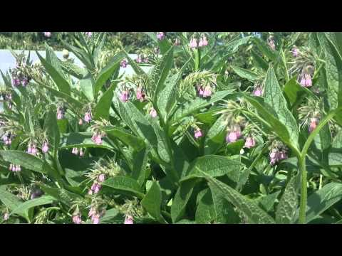 Bees on Comfrey flowers