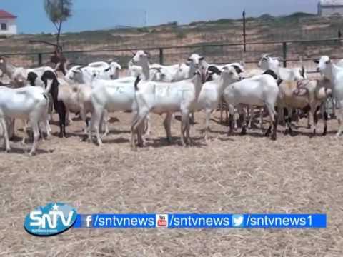 Mogadishu Livestock Export Soars