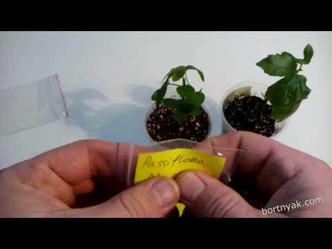 Распаковка посылки с семенами и саженцами пассифлор