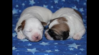 Coton de Tulear Puppies For Sale 1/30/20