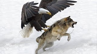15 Most Deadly Eagle Attacks in the World