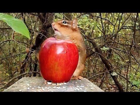 Chipmunks Apple