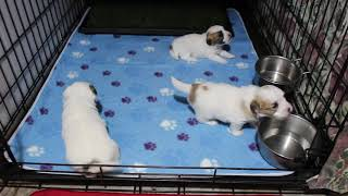 Coton de Tulear Puppies For Sale - Hannah 1/16/21