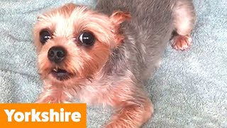Cutest Yorkies (Yorkshire Terriers) | Funny Pet Videos