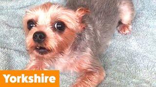 Cutest Yorkies (Yorkshire Terriers) | Funny Pet Videos