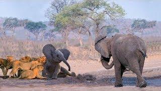 象はライオンハンティングから赤ちゃんゾウを救う ! ライオン ライノ 象.
