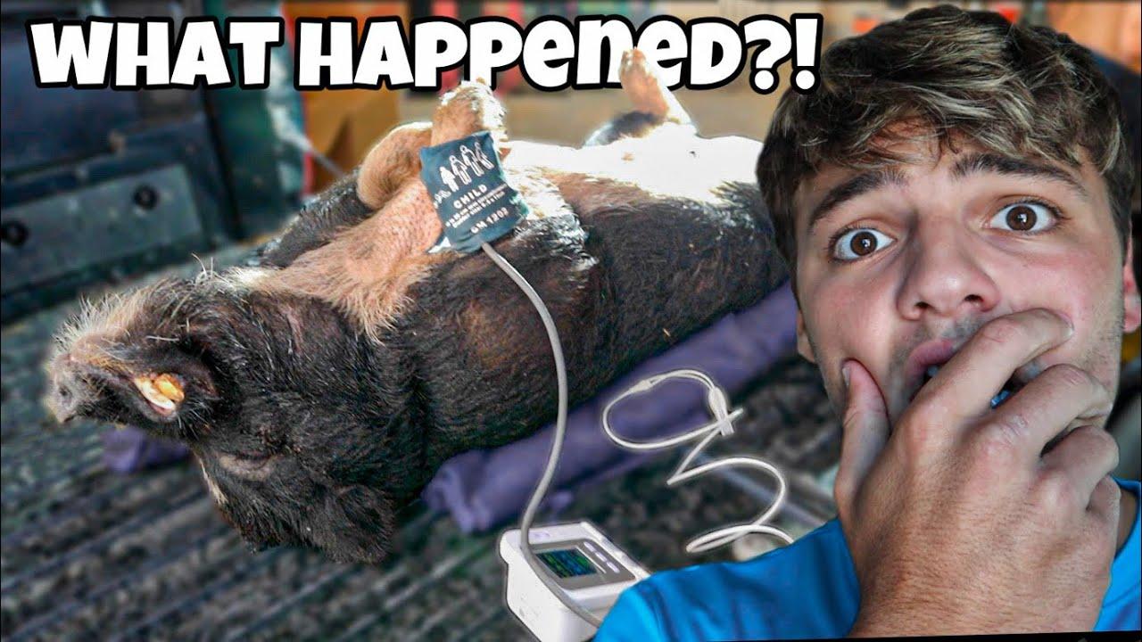 My PIG had EMERGENCY SURGERY....