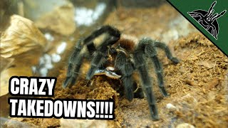 INSANE TARANTULA FEEDINGS