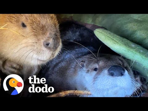 Beaver And Otter Play 24/7 | The Dodo Odd Couples