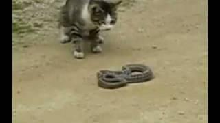 Gato Vs Cobra