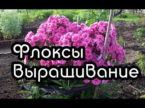 Флоксы многолетние  - размножение, выращивание и посадка флоксов многолетних
