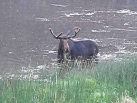 Silly moose in yellowstone