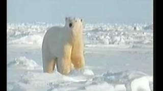 Меховой покров полярных медведей