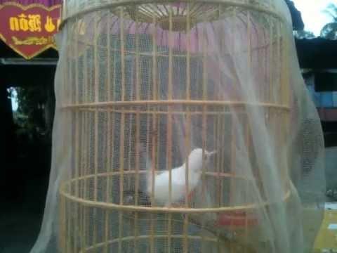 chim sau dau do trang