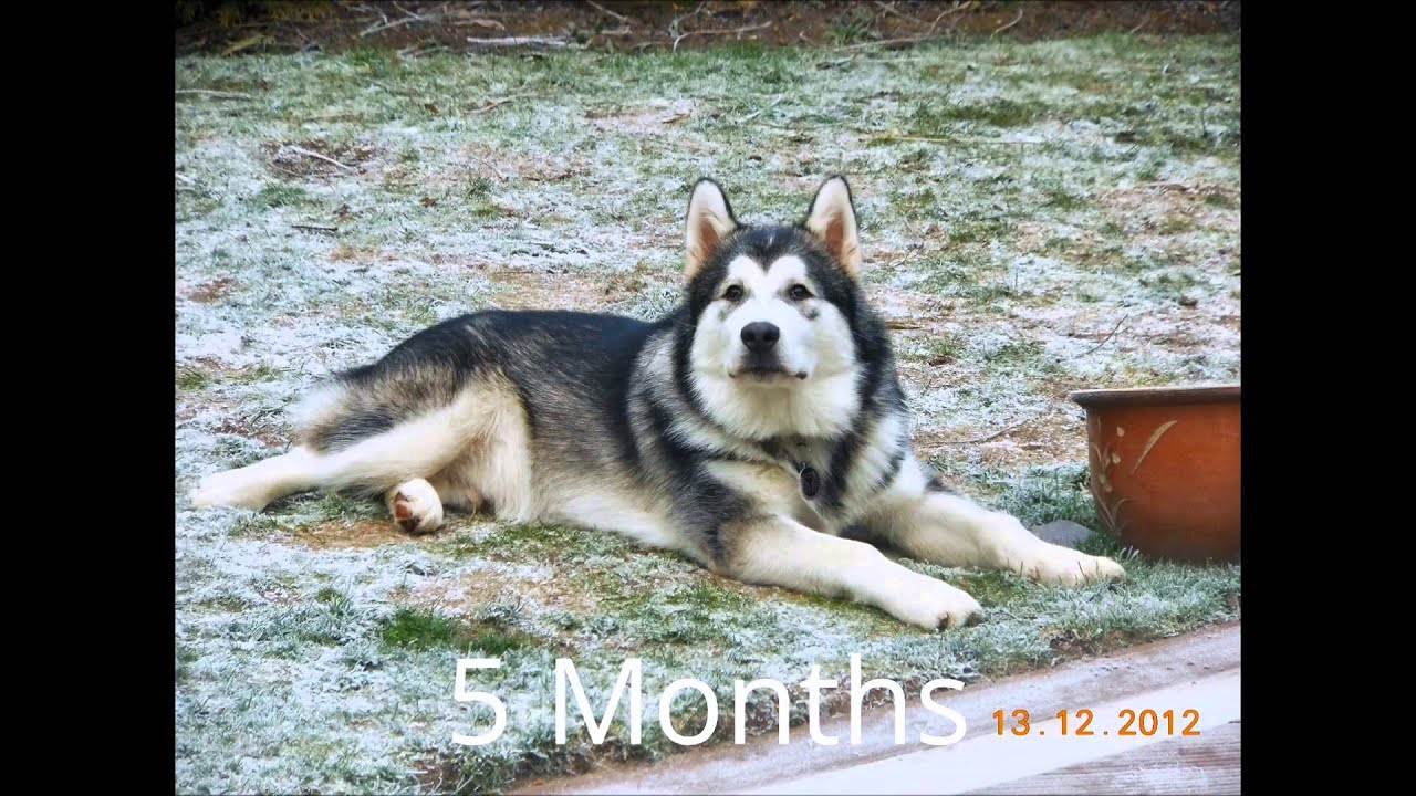 How quick an alaskan malamute grows in first year youtube how quick an alaskan malamute grows in first year nvjuhfo Gallery
