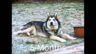 How quick an Alaskan Malamute grows in first Year