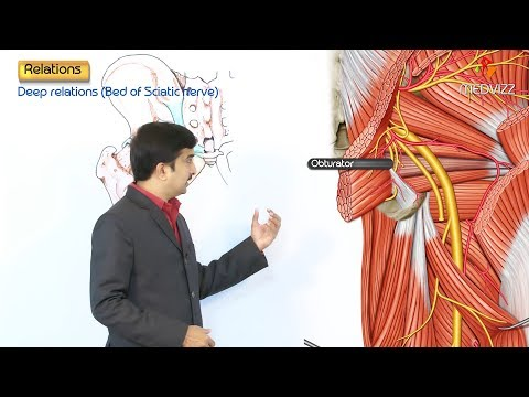 The Sciatic Nerve Anatomy - Origin , Course , Relations , Branches , Clinical application