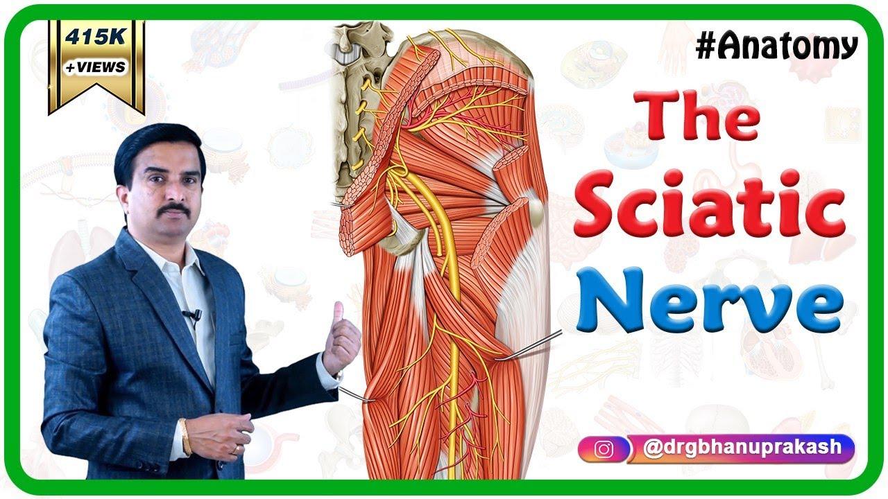 sciatic nerve anatomy