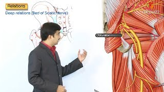 The Sciatic Nerve Anatomy USMLE Step 1- Origin , Course , Relations and Branches .