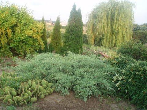 Хвойные растения фото и названия, посадка и уход