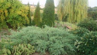 Мои хвойные растения после зимы 2016 года. Грибковые болезни хвойных.(Мои хвойные растения после зимы 2016 года - солнечные ожоги хвои, усыхание верхушек после больших морозов,..., 2016-04-26T11:52:04.000Z)
