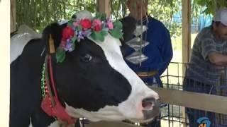 Праздник молока «Орликовская бурёнушка»