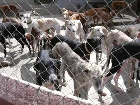 A Galgo Story (Spanish Greyhound) 1 English Version