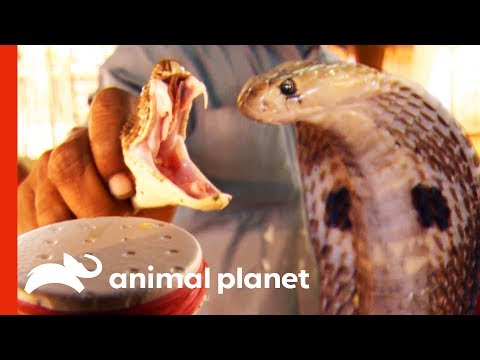 Extracting Deadly Snake Venom To Create Life-Saving Anti-Venom | Raw Nature