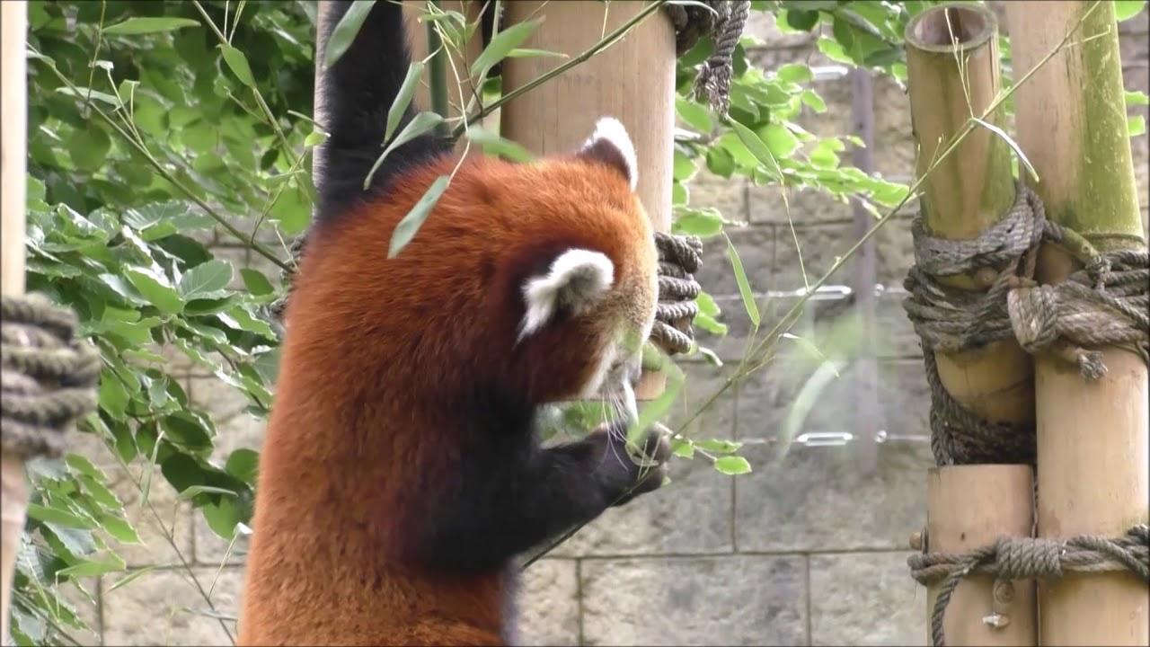 Kleiner Panda Beim Bambus Fruhstuck Youtube