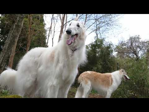 Borzoi ♡ in hakone