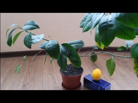 Лимоны Дома Круглый Год🍋/Лимон Мейера🍋/Собираю урожай Лимонов🍋/Снимаю пробу🍋