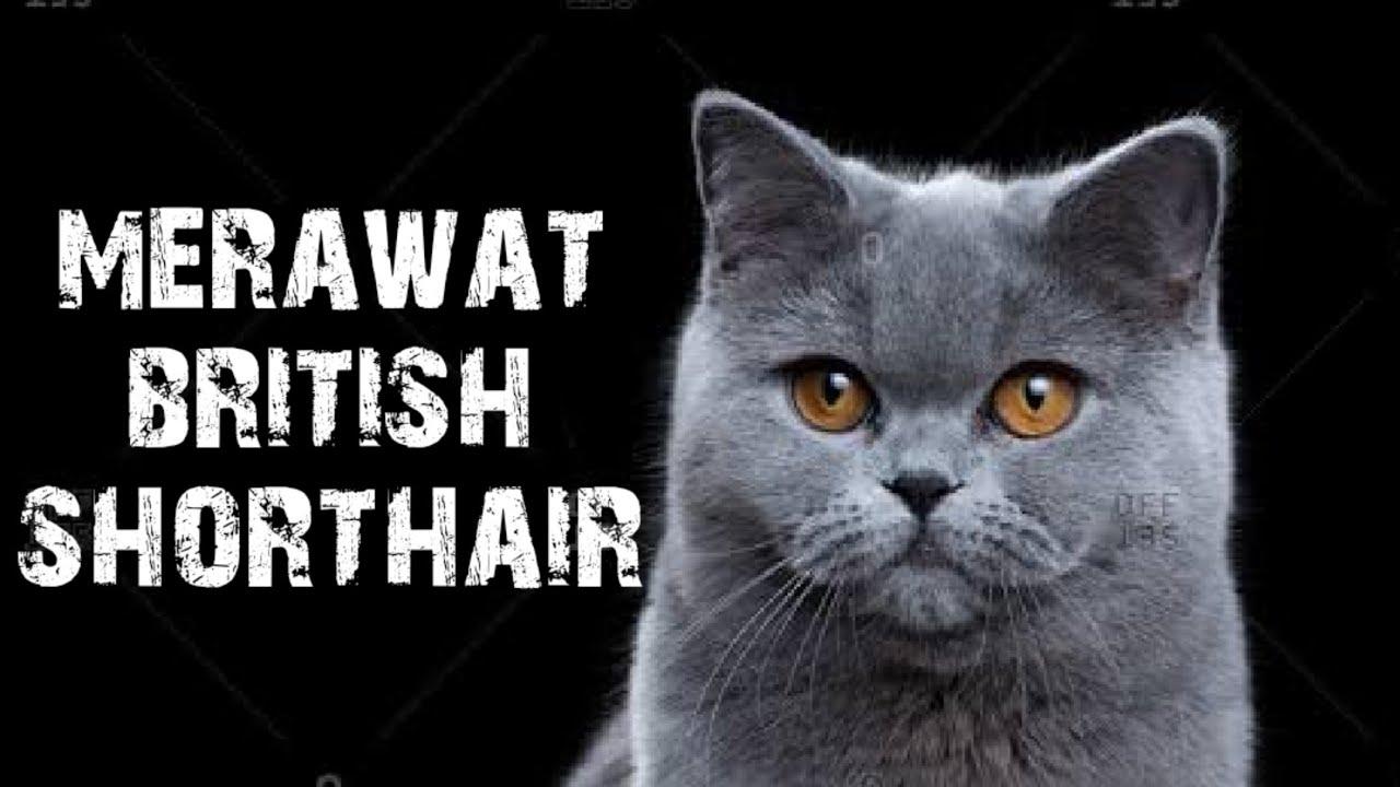 Cara Merawat Kucing British Short Hair Youtube