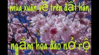 #20  xem hoa đào hàn quốc đẹp hút hồn - mùa xuân đã về trên đất hàn